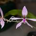Ancistrochilus rothschildianus – Merle Robboy