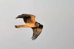 Northern Harrier (John Vohs) Tags: bombayhook northernharrier