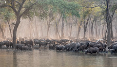 Cape Buffalo (Tris Enticknap) Tags: capebuffalo africa lowerzambezi zambia synceruscaffer