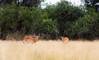 Impala infested Grass _5075-2 (hkoons) Tags: bwabwatanationalpark mahangogamepark southernafrica blackfacedimpala caprivistrip africa african bwabwata caprivi mahango namibia tree animal animals arbor beast bloom blossom branch branches bud buds canopy color flora flower fur game grass grasses green growth herbivore horns impala landscape leaf leaves limb limbs mammal outdoors outside panorama plants roots shrub soil stem sun sunshine trees trunk vegetation wildlife