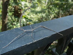 Stick Insect (57Andrew) Tags: hongkong phasmidae lugardroad stickinsect hkmoths thepeak