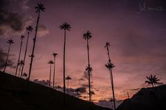 Valle de Cocora al Atardecer (Juliancs) Tags: sunset atardecer atardeceres palmadecera palmas palm paisaje landscape sunlight clouds colors colombia quindio salento valley valledecocora