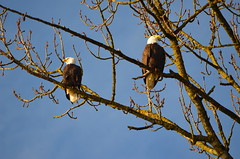 New Year's Eagles (Neal D) Tags: bc abbotsford milllake bird eagle baldeagle haliaeetusleucocephalus