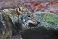 JUST WOLF (babsbaron ( Bella )) Tags: wolf wölfe wolves nature tiere animals säugetiere mammals raubtiere predators jäger rudel hunter pack canon eos wildpark lüneburgerheide