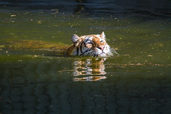 tiger (Frank Schmidt) Tags: zoo water tiger watching eos7d eos outdoor photo photography animals summer denmark day danmark dyr foto farver københavn zoologisk canon colorful valby 2018 dyreliv lake vand svømmer