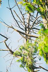 stick tree (annapolis_rose) Tags: tree branches baretree reifelbirdsanctuary