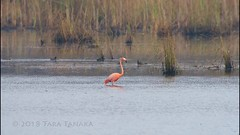 2018-11-09 American Flamingo - a very rare visitor at SMNWR! (video) (Tara Tanaka Digiscoped Photography) Tags: bird birding americanflamingo stmarksnwr florida rare feeding digiscoped manualfocus dancing video swarovskistx85 mirrorless gh5 digidapter