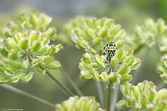 Chenille de Machaon (TIOGRIS (Clém VDB)) Tags: chenille insect 2018 macro flower fleur pov dof caterpillar butterfly nature nikon d3200 bretagne france machaon heracleum berce