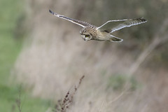 Short Eared Owl (Ade Ludlam) Tags: short eared owl raptor bird prey somerset hunting wildlife nature nikon d7200 sigma sigma150600