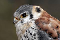 Kestrel (Oudje1955) Tags: nature natuur naturepics naturephotograph natural birds bird wildlife feather portrait prey sharplook schalk canon canon40d 70200mm f4 l is