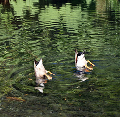 Double ducks (stephen trinder) Tags: stephentrinder stephentrinderphotography aotearoa godzone kiwi landscape nz newzealand christchurch christchurchnewzealand ducks water swimming funny ilam ilamgardens da ducksass ducksarse