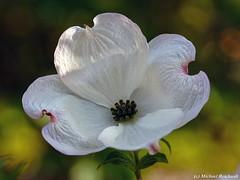 Cornus Florida Amerikanischer Blumen-Hartriegel (Mike Reichardt) Tags: flower blume blüte macro makro closeup nahaufnahme natur nature