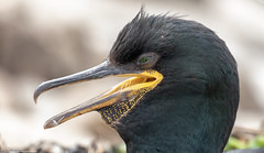 Shag Portrait (Steve (Hooky) Waddingham) Tags: stevenwaddinghamphotography animal countryside coast bird british nature northumberland sea summer wild wildlife