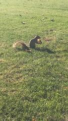 A squirrel enjoys a donut for brunch at Benedictine (Robbiedudz) Tags: benu ecology biol180 fall2018 image4