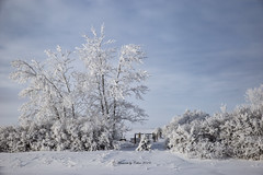 Winter's canvas (Canon Queen Rocks (2,800,000 + views)) Tags: frozen frost sky scenery scenic snow winter nature trees shrubs cold bluesky white alberta canada clouds prairies landscape landscapes oilpainting photoshop