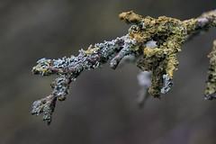 Ast... (st.ri1) Tags: ast moos alt sonya6300 sony wald forest fotografie tamron90mm tamron90mmmacro tamron macro trees tree natur nature naturfotografie landscape landschaft