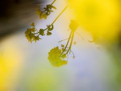* (t*tomorrow) Tags: panasonic lumix gx8 100400mm flower 菜の花 reflections