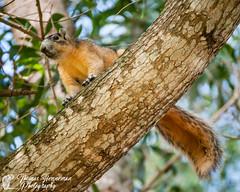 Fox Squirrel (Thomas Henneman) Tags: sciurusniger blue branch closeup colliercounty earth florida foxsquirrel green location naples northamerica orange riveiragolfestates tree treebranch unitedstates universe us usa westernhemisphere world