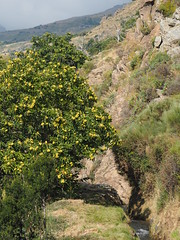 Bewässerungskanal Spanien Andalusien Sierra Nevada Alpujarras @ Irrigation Channel Spain Andalusia © Acequia Andalucía La Alpujarra Granadina © (hn.) Tags: lanjaron senderocerecillomezquerina mezquerina spain europe andalusia andalucia spanien eu europa andalusien heiconeumeyer copyright copyrighted tp2018anda es sierranevada laalpujarra alpujarras provinciadegranada alpujarragranadina españa bewässerungskanal acequia kanal irrigation irrigationchannel kastanien castanea baum kastenienbaum tree pflanze plant nature natur chestnut chestnuttree castaño fruchtbecher cupula cupule fruit frucht bur stachelig spiky spiked