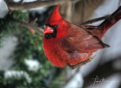 Handsome Devil (Tom Mortenson) Tags: malenortherncardinal red cardinal malecardinal winter wild bird wildbird wisconsin rothschildwisconsin centralwisconsin digital canon canoneos tonemapping colorful canon6d ef100400l songbirds northamerica usa midwest passerine cardinalis marathoncounty geotagged america avian backyardbirds audubon northern birdwatching