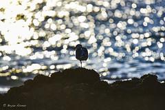 Seagull @ Victoria Beach Laguna California (bryanasmar) Tags: nikon d750 tamron 150600mm super telephoto zoom seagull victoria beach laguna california amazing art ngc ngg ngw dramatic shilouette bird water reflections november 2018 ngs nationageographic ngww bokeh waterbokeh