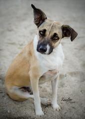 Stray (Rainfire Photography) Tags: potcake cuba dog stray beach vacation mix nikon