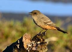 Say's Phoebe (aviac) Tags: morrobay morrobaystatepark stateparkmarina california californiabirds bird birdscalifornia sanluisobispocounty sanluisobispobirds phoebe says