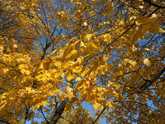 yellow leaves (cloversun19) Tags: gold rain animal field grass landscape branches leafs foliage sky russia russian spb tree walking country holiday holidays park garden dream dreams positive forest happy view grey legend fairytale fir firtree birch village evening romantic october september car road street blue maple leaves town city light sun yellow autumn trees