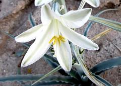 Desert bloom (thomasgorman1) Tags: cactus bloom nature desert canon hiking baja mexico mx