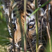 Tiger hidden behind the vegetation