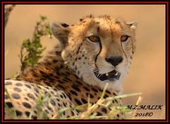 CHEETAH (Acinonyx jubatus).....MASAI MARA....SEPT, 2018. (M Z Malik) Tags: nikon d800e 400mmf28gedvr kenya africa safari wildlife masaimara keekoroklodge exoticafricanwildlife exoticafricancats flickrbigcats cheetah cats acinonyxjubatus ngc npc