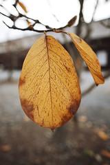Fall Foliage (bacon.dumpling) Tags: fujifilmxpro2 fujinonxf16mmf14rwr japan kyoto sanjusangendotemple autumn fallfoliage leafchangingseason