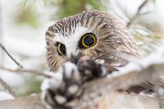 ''Cocotte!'' Petite nyctale-Northern saw-whet owl (pascaleforest) Tags: oisea bird animal passion nikon nature portrait cocotte owl hbou wild wildlife faune québec canada