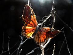 don't worry (fotomie2009) Tags: farfalla butterfly backlight backlit controluce dark background spots light