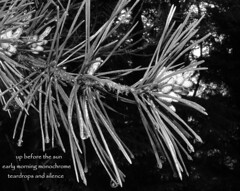 daybreak (floots in devon) Tags: poem poetry haiku woods forest pines conifers trees light dawn daybreak water haiga monochrome blackandwhite