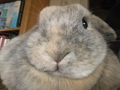 Hoppy New Year everyone! (eveliensbunnypics) Tags: bunny rabbit lop lopeared polly face closeup funny dewlap