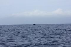 IMG_6882 (avsfan1321) Tags: maui hawaii usa unitedstates unitedstatesofamerica ocean pacificocean breach whale whalewatching humpbackwhale