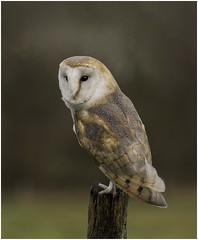 Barn Owl (Charles Connor) Tags: barnowl owls birdsofprey beautifulbirds exoticbirds raptors birdphotography birds plumage feathers featherdetail backgroundblur bokeh birdsonperch canondslr