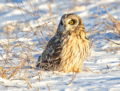 Short eared Owl (Steve Rossi 2) Tags: owl shorteared wildlife ontario steverossi snow ice raptor wild canon evening
