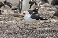 Kelp Gull with Penguin Egg (Linda Martin Photography) Tags: bird saundersisland southatlanticocean falklandislands kelpgull wildlife nature naturethroughthelens coth coth5 ngc npc