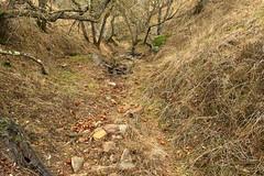 Buckeyes fill the dry bed of Salt Creek (openspacer) Tags: aesculus buckeye creek nut pachecostatepark santaclaracounty sapindaceae