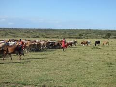 Maasai herders and cows (Animal People Forum) Tags: maasai masaimara kenya africa cows cattle herd people human indigenous