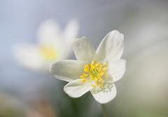(skloi) Tags: buschwindröschen anemonanemorosa flower blume plant spring frühling wald forest white weiss