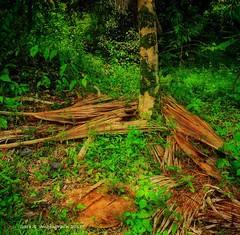 Fallen, My Late Brother's Coffee Farm, Kona, Big Island (augenbrauns) Tags: hawaii bigisland kona coffeefarm green trees greenery palmfronds exoticimage artdigital netartll