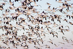 Snow Geese flock in flight (Robyn Waayers) Tags: snowgoose chencaerulescens snowgeese goose geese robynwaayers saltonsea