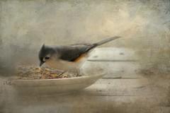 First Titmouse.... (Patlees) Tags: titmouse bird nc textured dt evelynflint