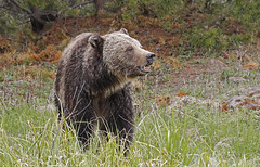 Grizzly Bear (tomblandford) Tags: grizzlybear grizzly yellowstonegrizzly yellowstonewildlife bear teeth wildlifeofthewest wildlife nature conservation protecttheenvironment protectpubliclands protectwildlife