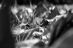 Hojarasca (ameliapardo) Tags: hojas macro blancoynegro fujixt2 sevilla narutaleza aitrelibre