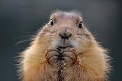 Prairie dog (K.Verhulst) Tags: prairiedog prairiehondje dog hondje blijdorp blijdorpzoo diergaardeblijdorp rotterdam