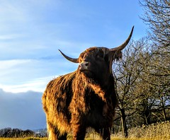 HIGHLAND CATTLE (pajacksonartist) Tags: highland cattle cow cows bull bulls